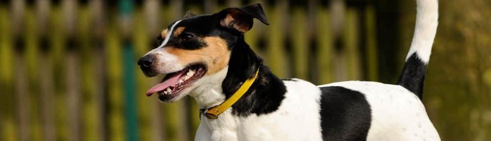 Erziehung-Jack-Russel-Terrier.jpg