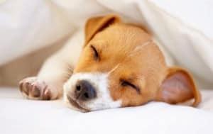 Impfungen Jack Russell Terrier