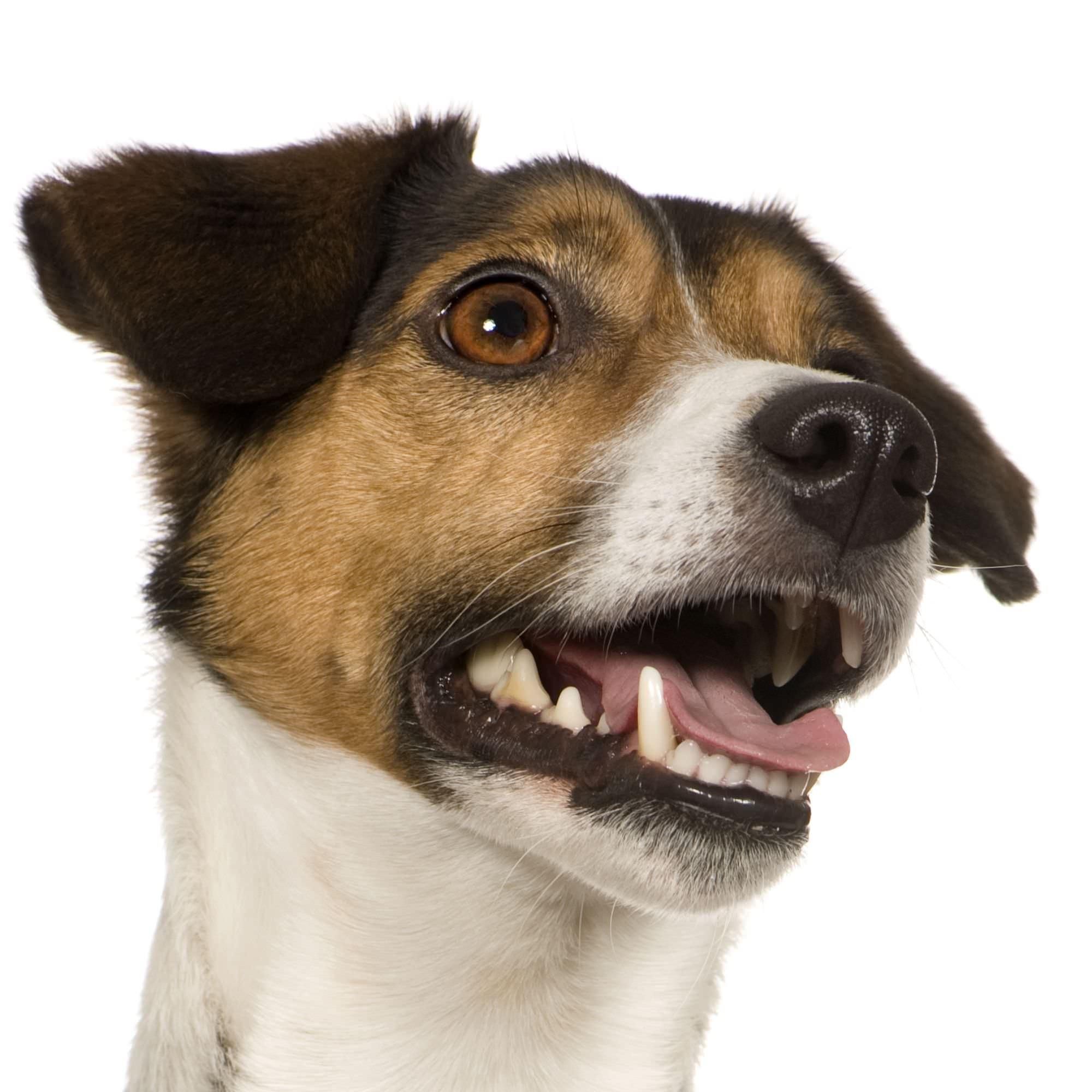 Das Gebiss des Jack Russell Terriers auf Plaque untersuchen.