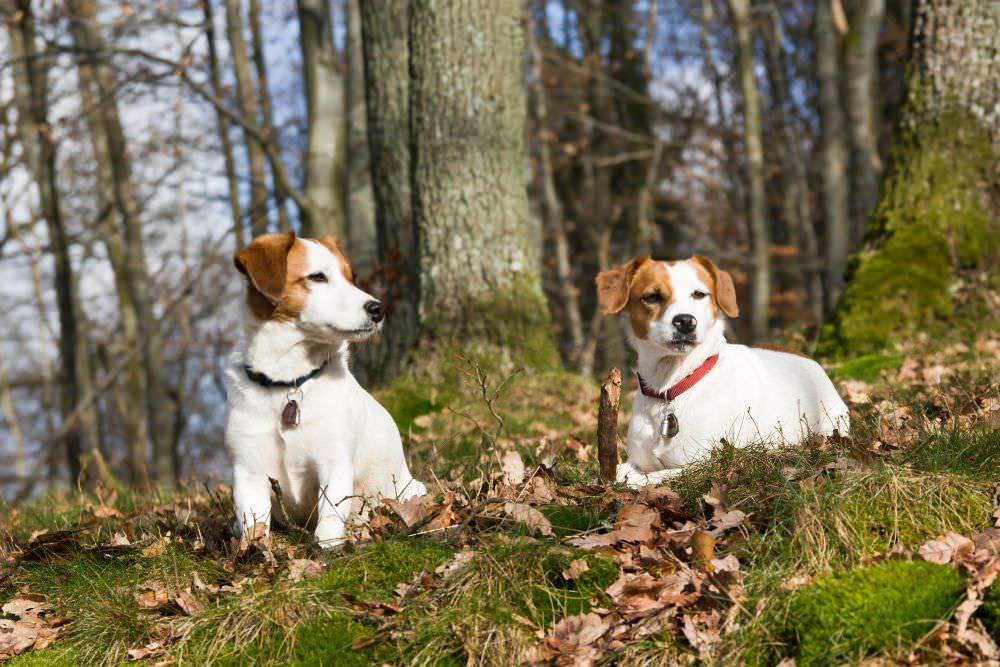 Zecken Parson Russell Terrier