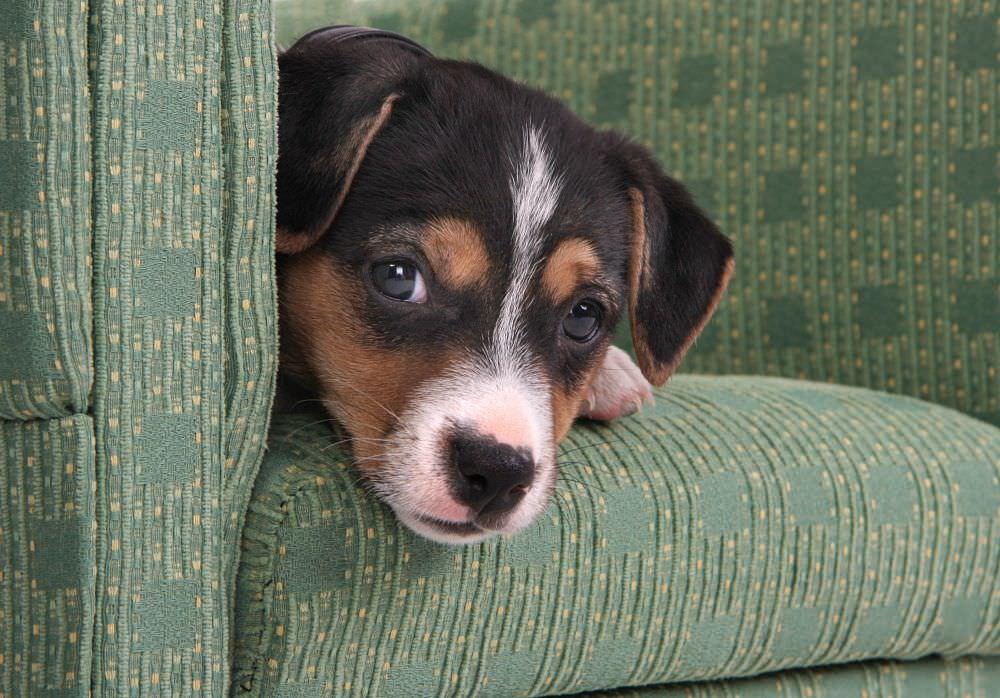 Jack Russell Terrier allein zu Hause