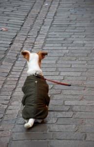 Jack Russell Terrier an der Leine