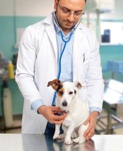Jack Russell Tierarztkosten