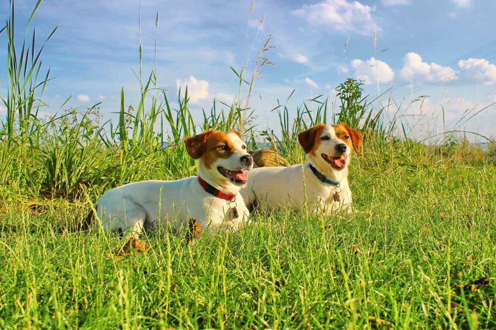 Zecken Gefahr im Gras für Parson Jack Russell