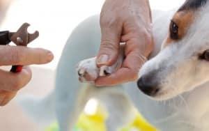 Krallenschneiden Jack Russell Parson Terrier