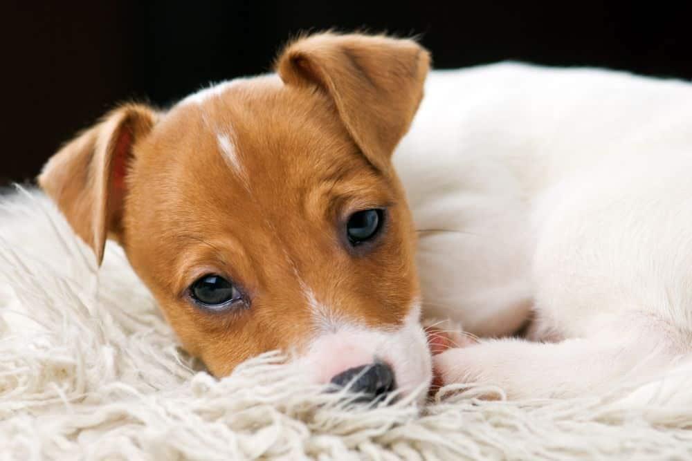 Schlafplatz für den Jack Russell Terrier.