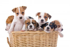 Jack Russel Terrier stubenrein