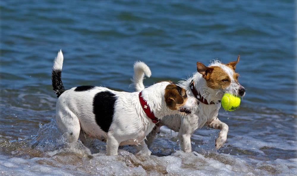 Zwei Parson Russell Terrier am Strand. Copyright Foto: http://meine-parsonrusselterrier.de/