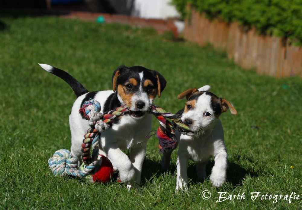 Parson Russell Terrier am spielen