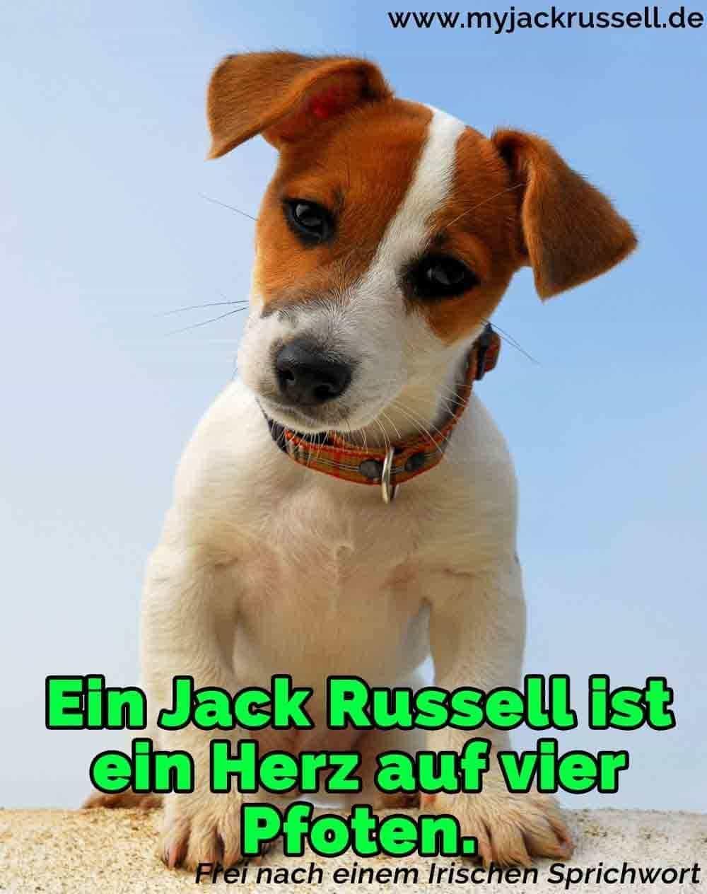 Ein schöner Jack Russell