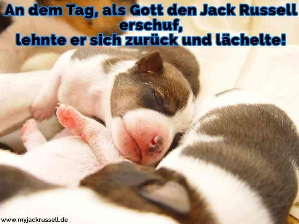 Ein Jack Russell Welpen schlafen