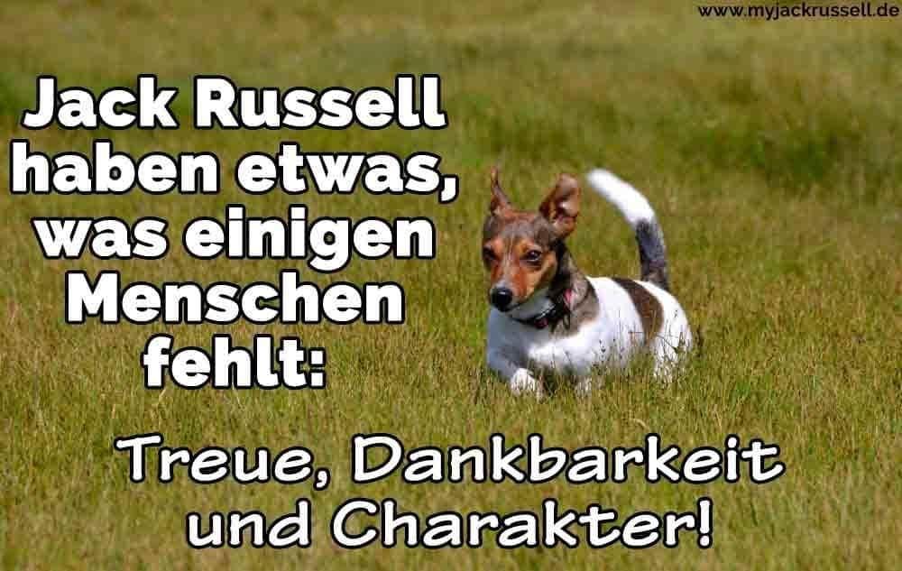 Ein Jack Russell läuft auf dem Rasen