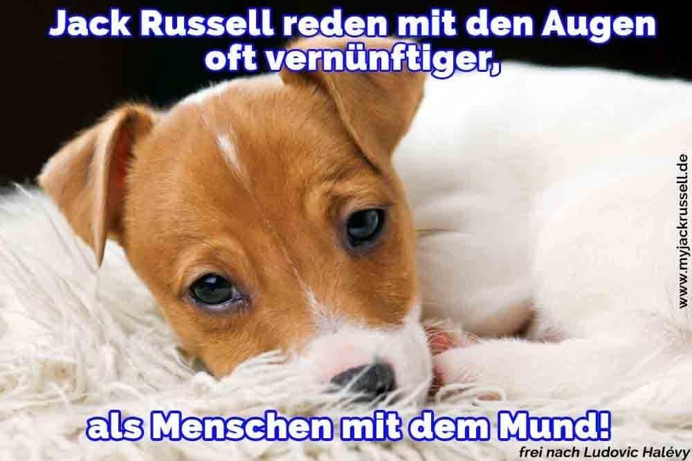 Ein Jack Russell schläfrig