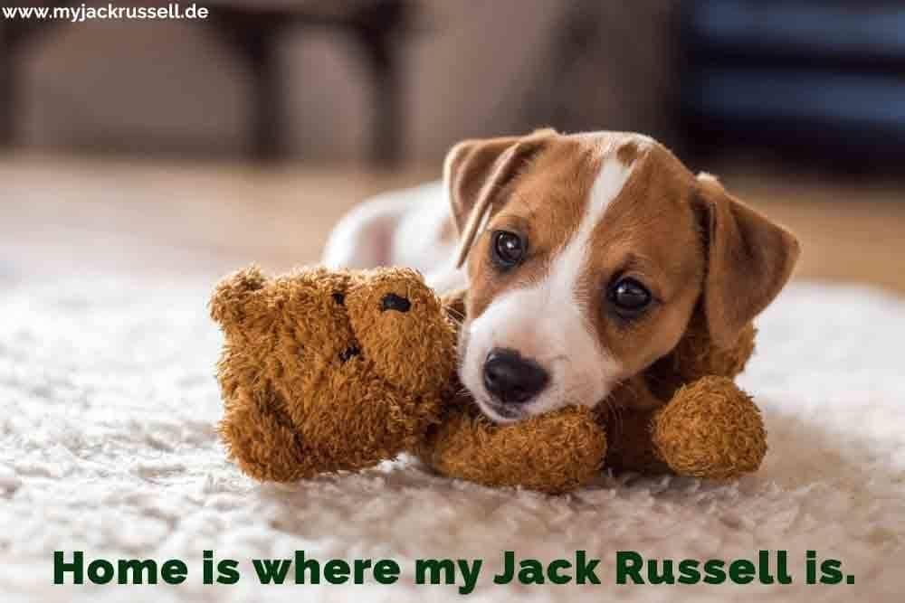 Ein Jack Russell mit seinem Teddybären
