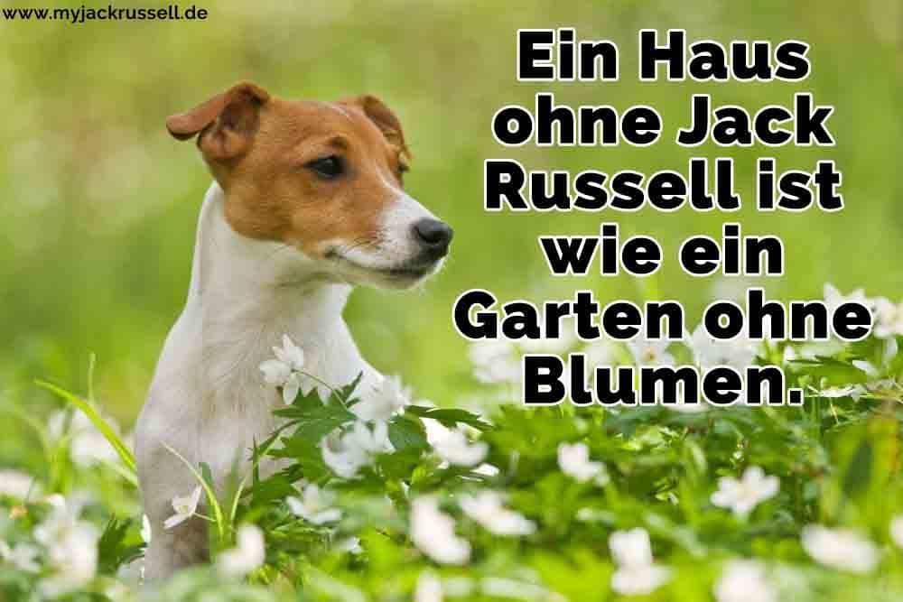 Ein Jack Russell in den Blumen