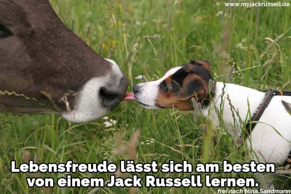 Ein Jack Russell lecken eine Kuh