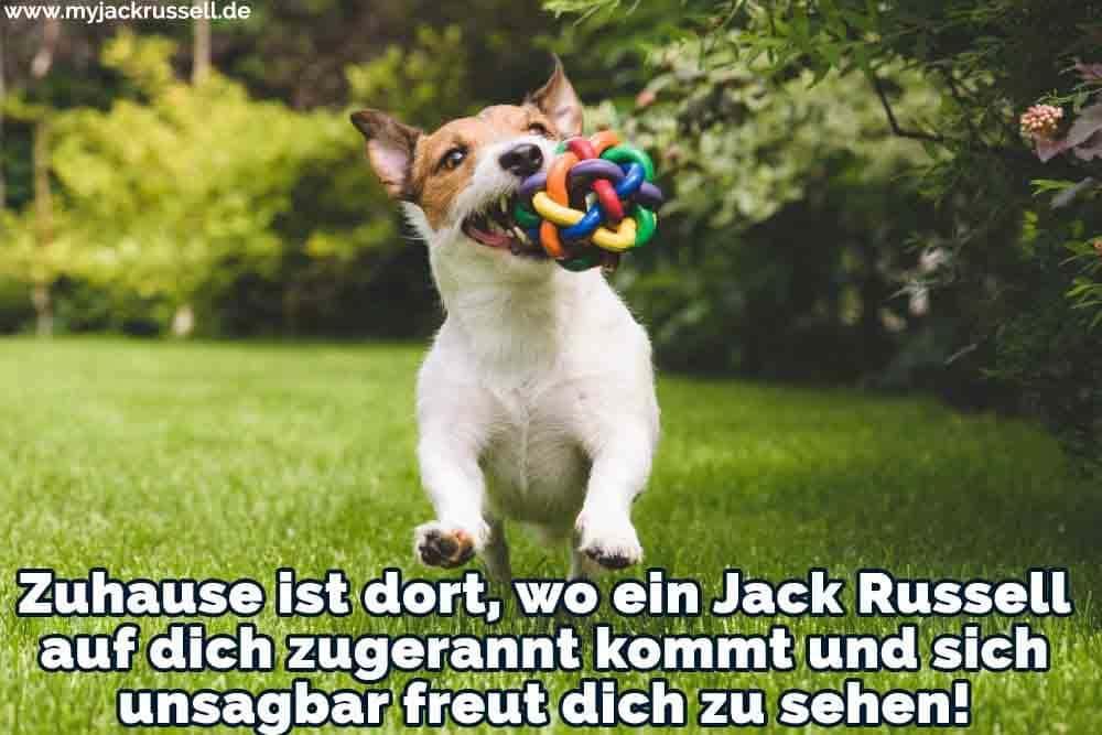 Ein Jack Russell spielt mit ihrem Spielzeug