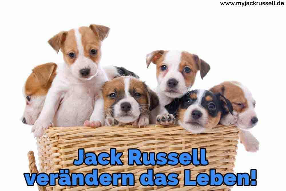 Einige Jack Russell in den Korb