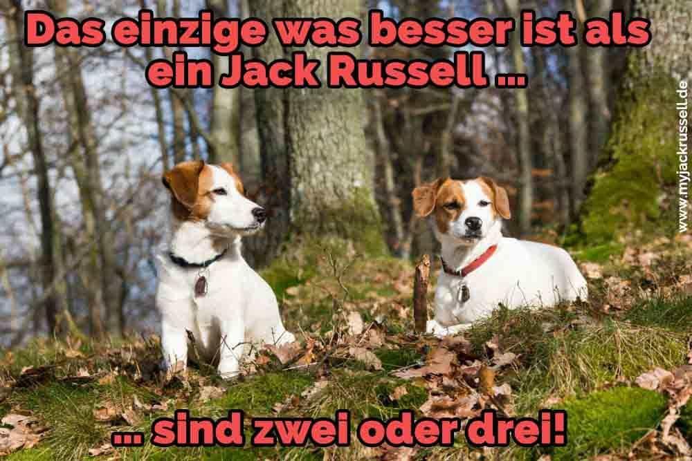 Zwei Jack Russell auf dem Rasen