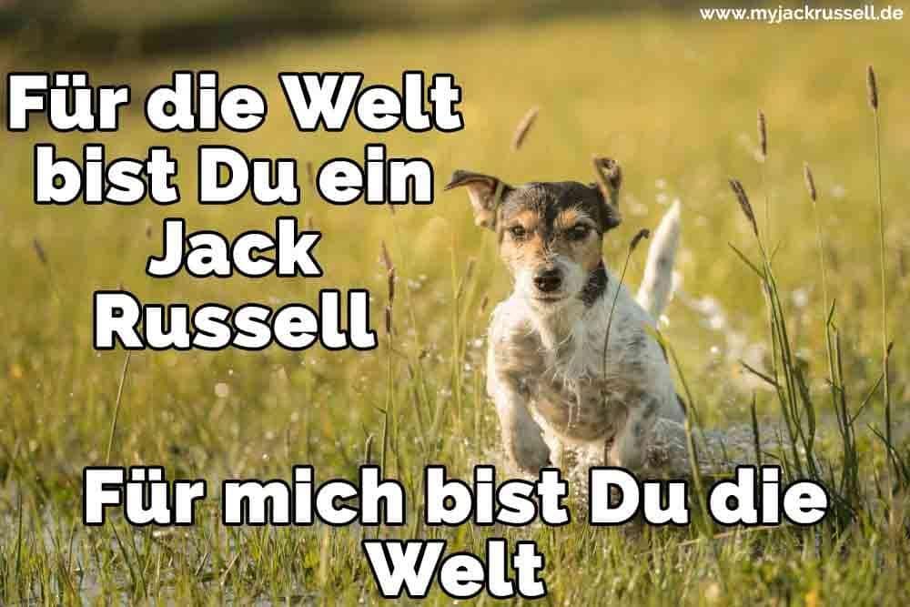 Ein Jack Russell im Feld