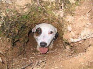 Jack Russell Terrier Fuchsjagd Bau