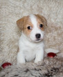 Puppy of Jack Russel Terrier